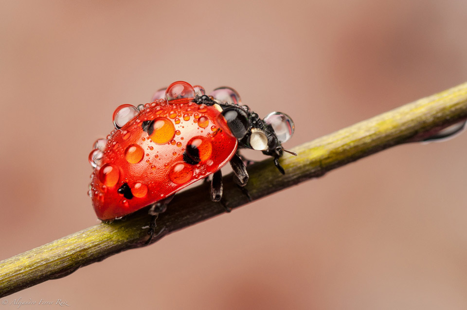 ladybug caught in the rain