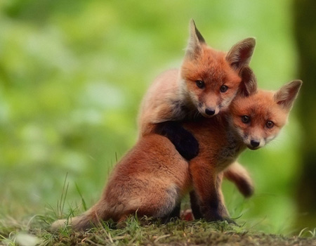 Cute little foxes.