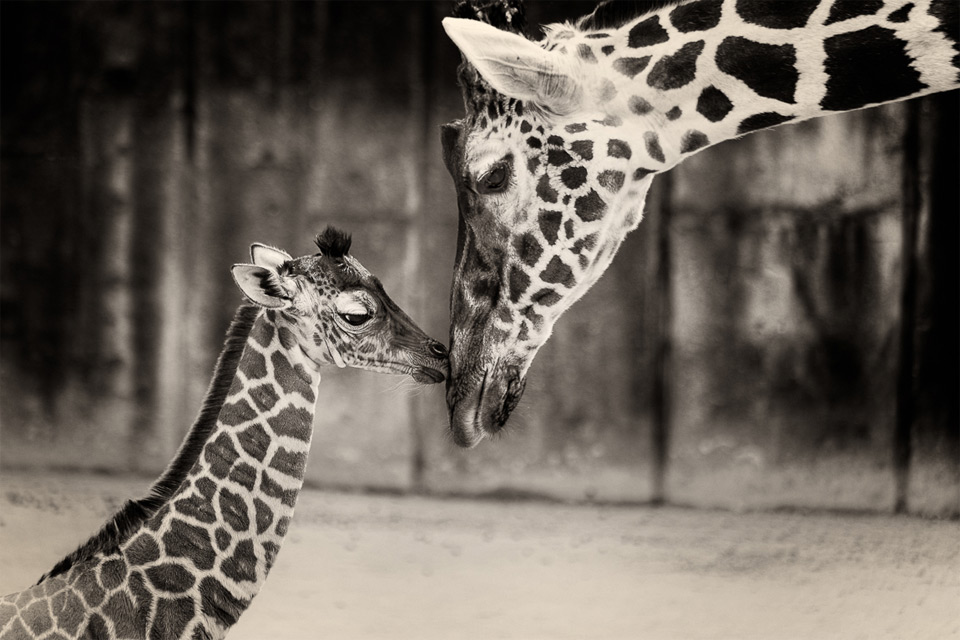 2 week old baby giraffe with mom