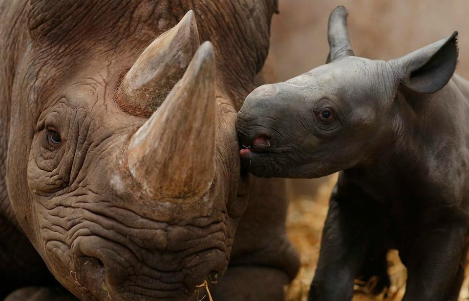 baby rhino giving his mama a kiss