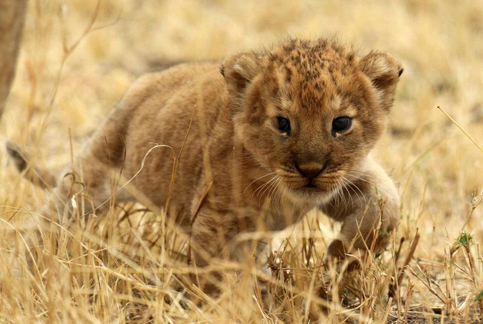 cute sneaky lion cub