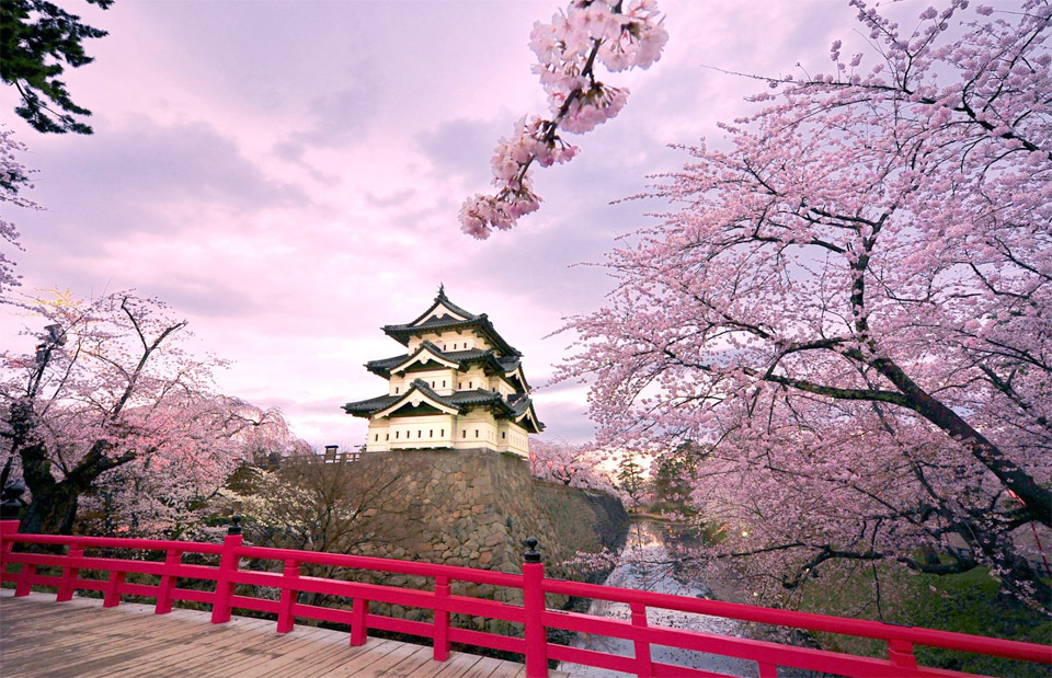 cherry blossoms, hirosaki castle japan