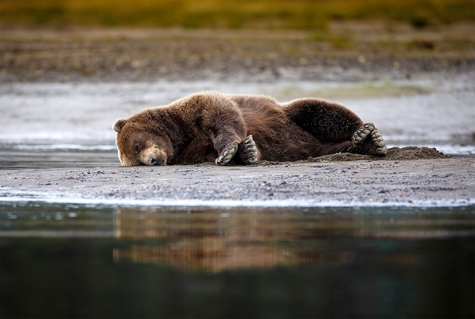 grizzly bar taking a nap