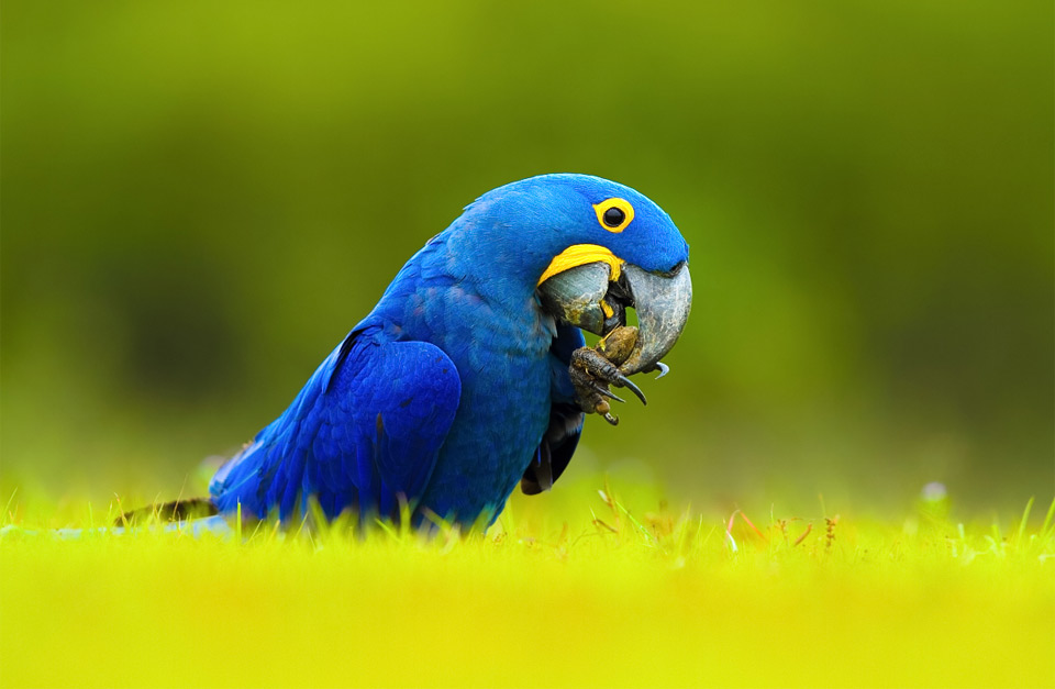 hyacinth macaw, brazil