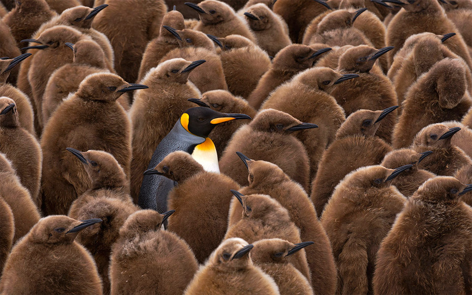 king of king penguins