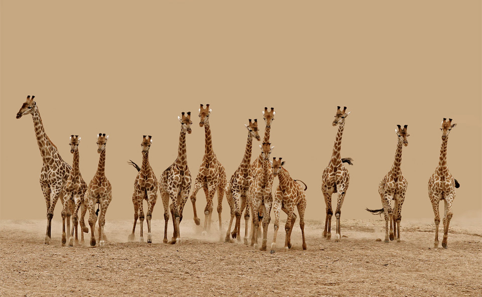 a herd of giraffes