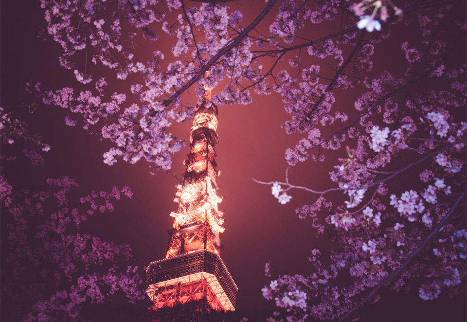 cherry blossoms and tokyo tower at night