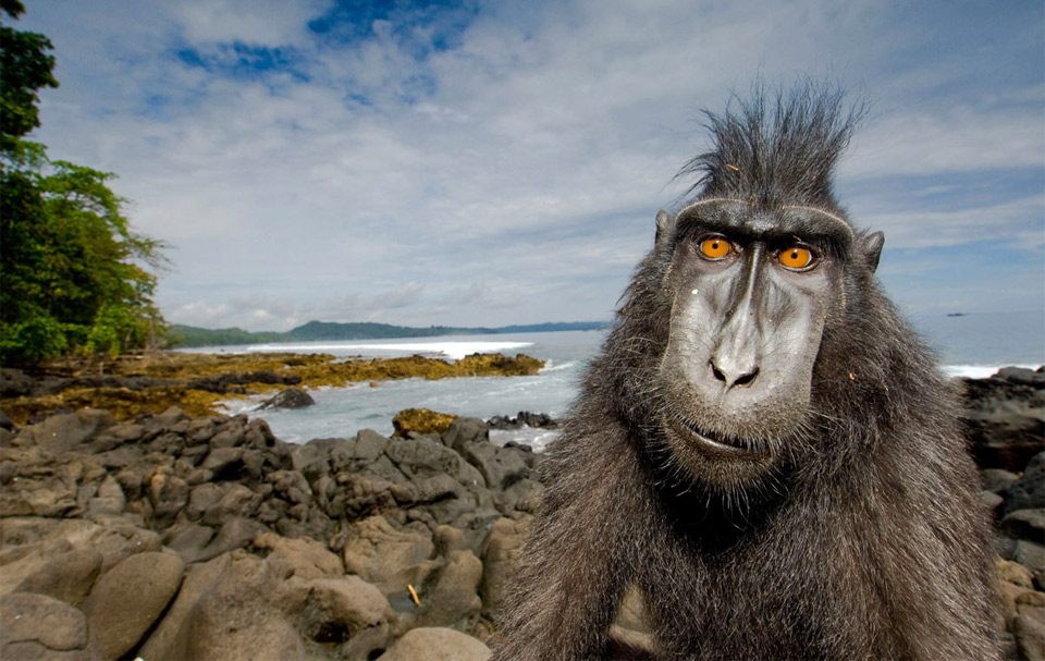 crested black macaque says hello
