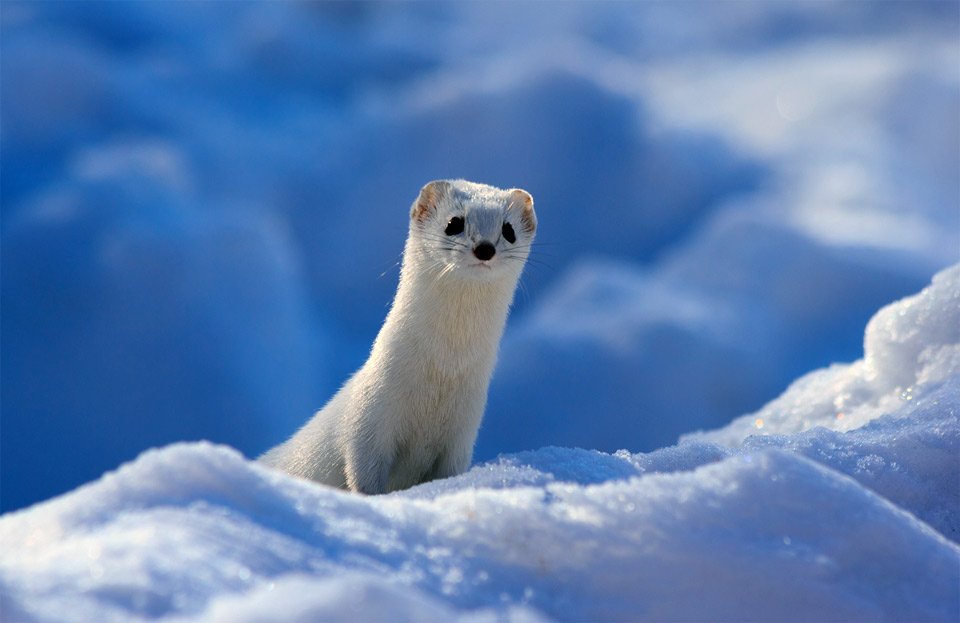 cute white weasel