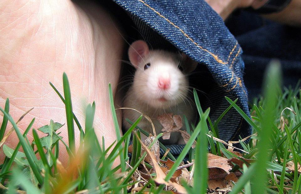 fyodor the rat pet