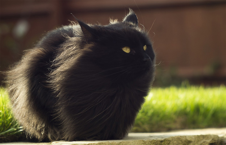 Long Hair Black Cat In Autumn