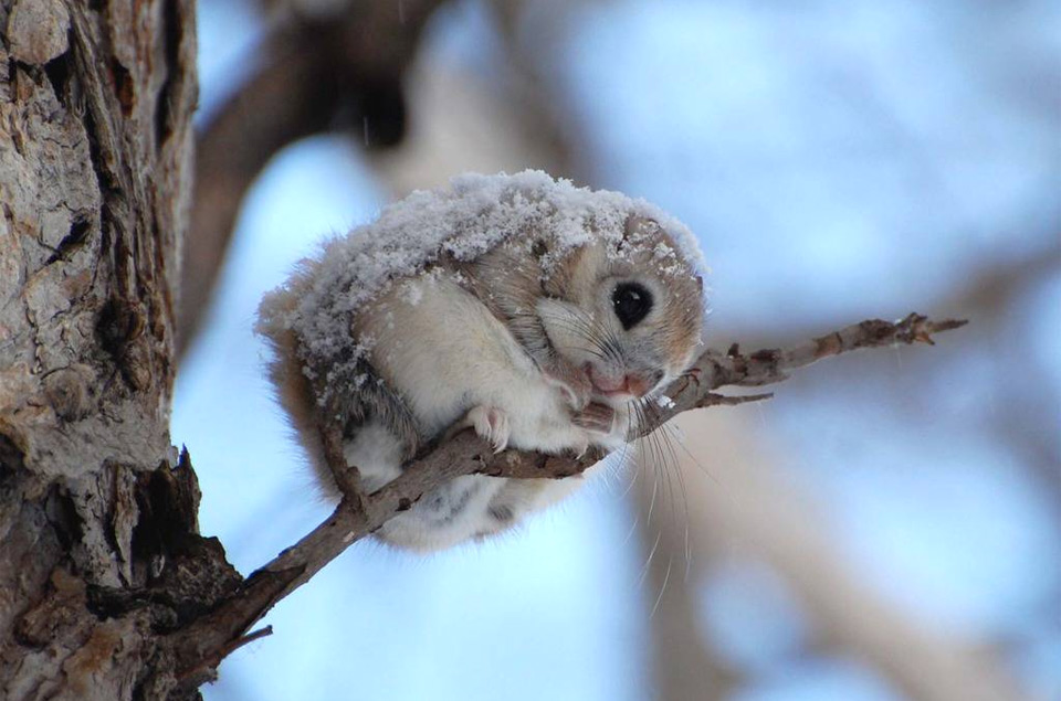 cute japanese dwarf flying squirrel