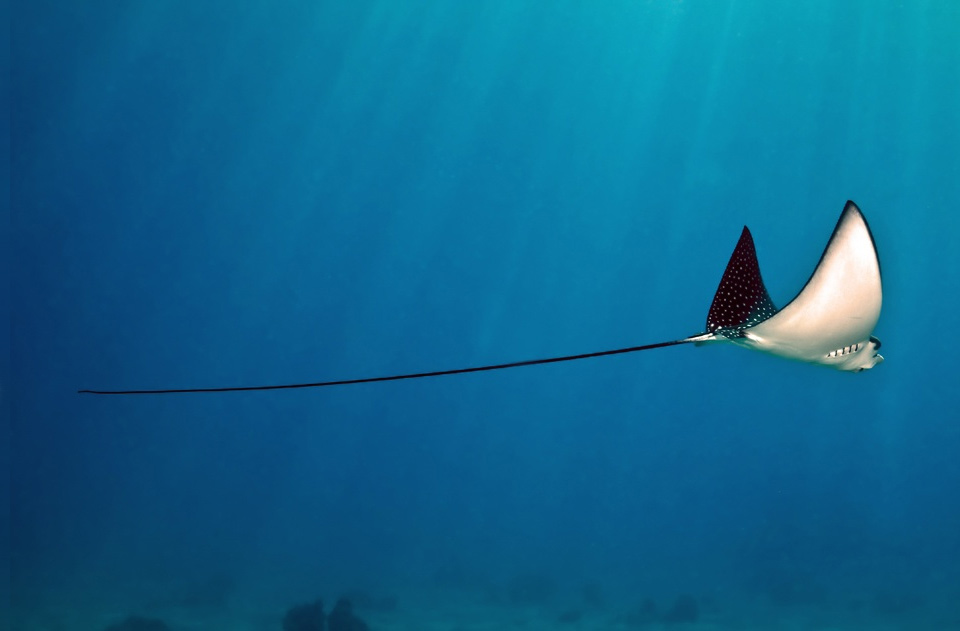 a long tail of stingray