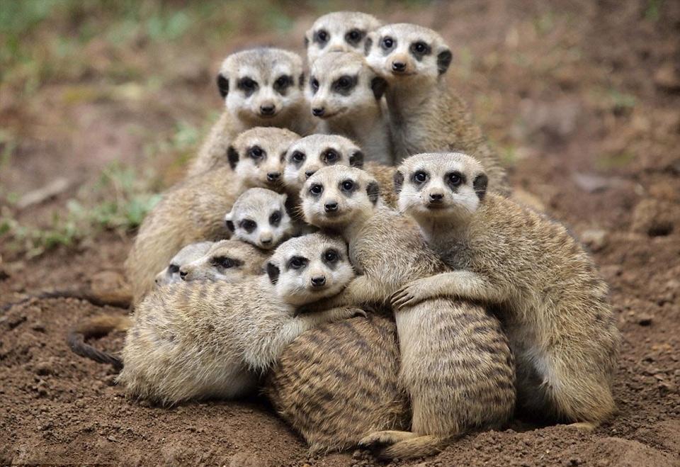 meerkats group hug