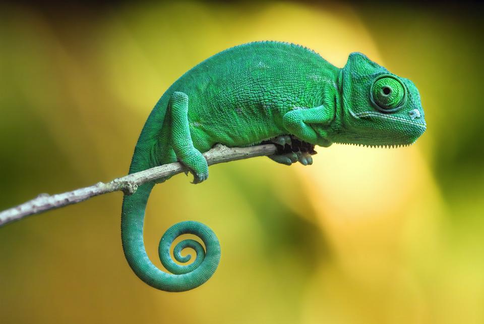 baby yemen chameleon