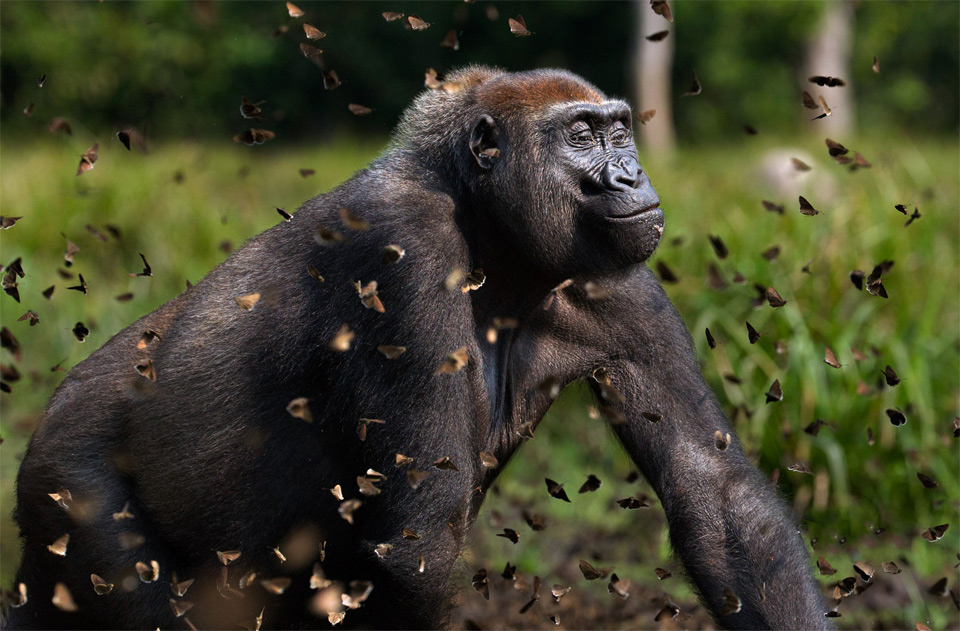 gorilla in a cloud of butterflies
