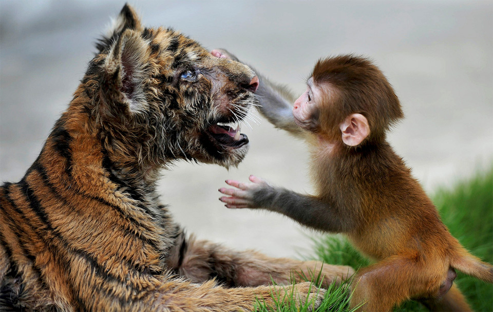 baby rhesus macaque and a tiger cub