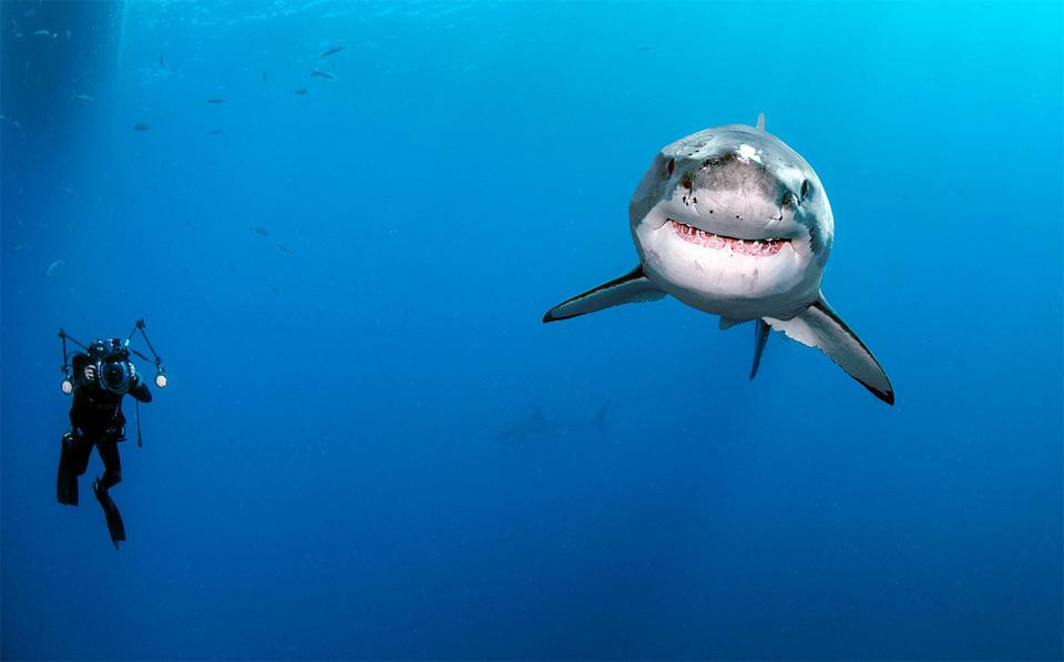 diver swimming around great white shark