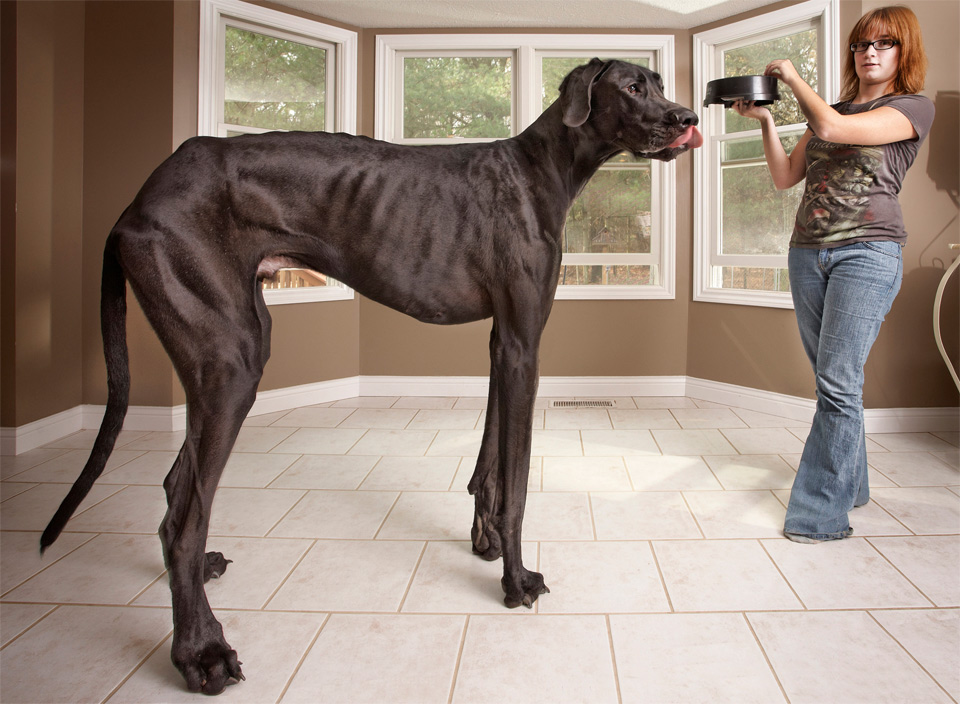 tallest dog in the world, great dane zeus