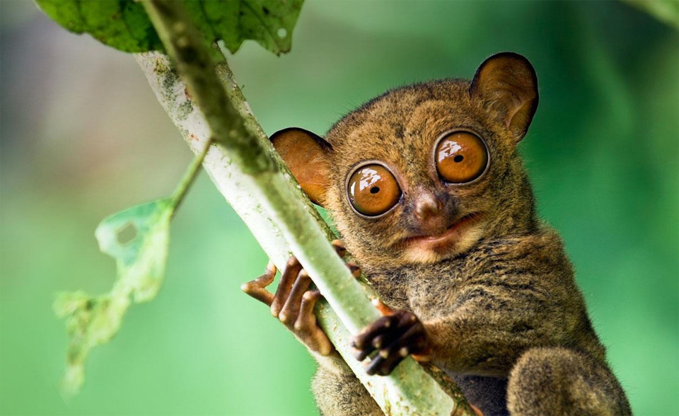 the look of western tarsier
