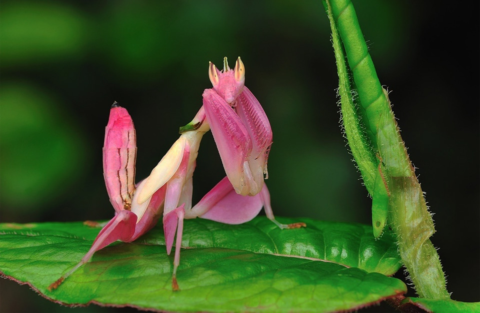 beautiful pink orchid mantis