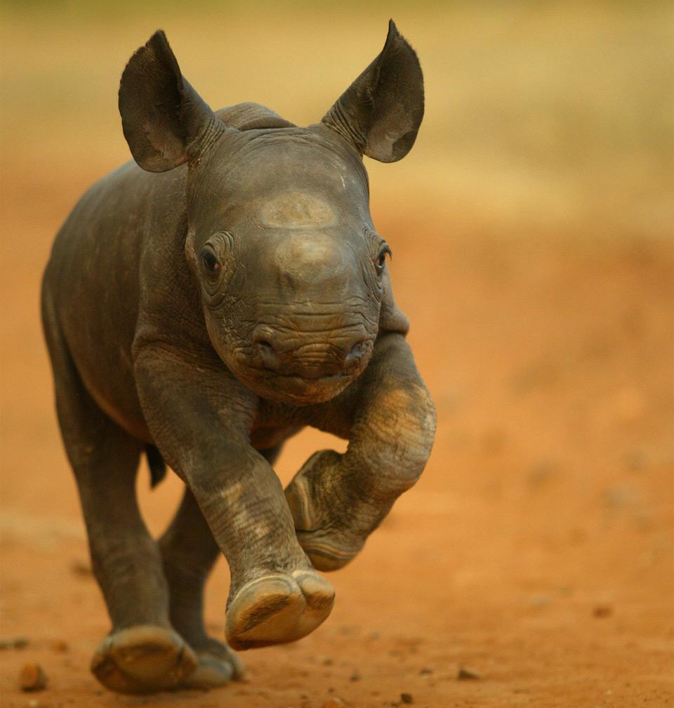 2-Week-Old baby rhino
