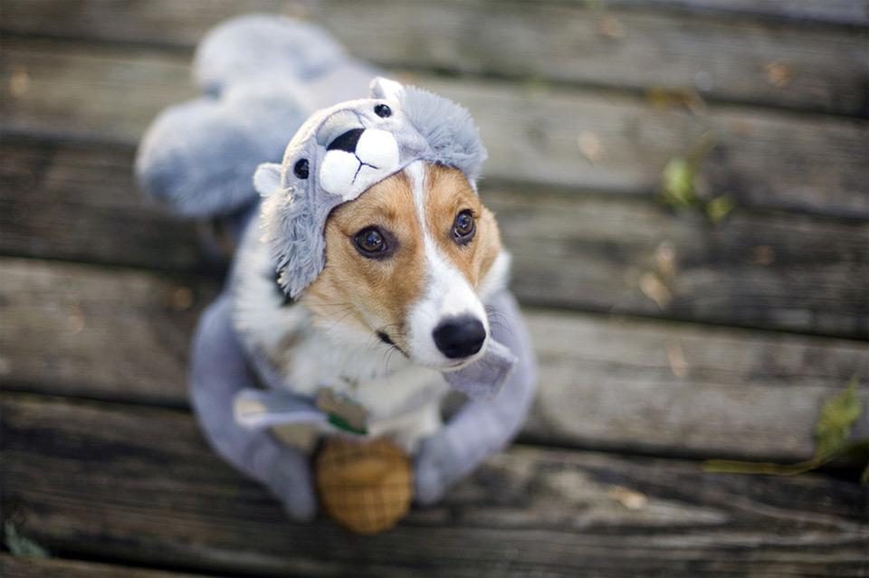 corgi in squirrel costume