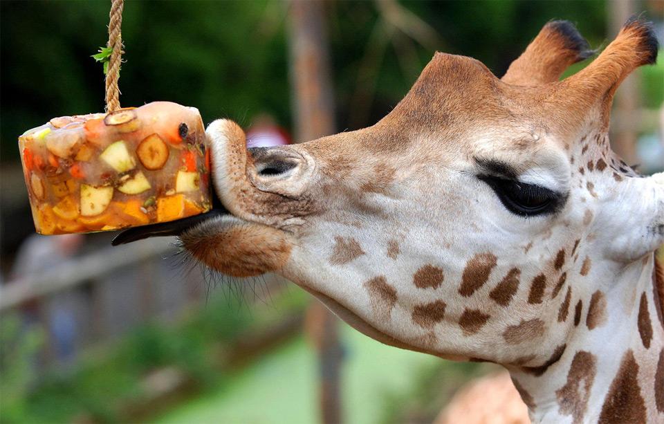 giraffe at london zoo celebrates birthday