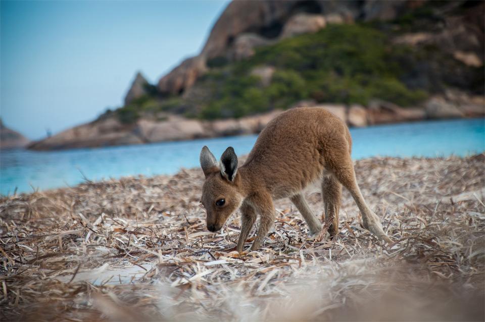 baby kangaroo playing at the beach