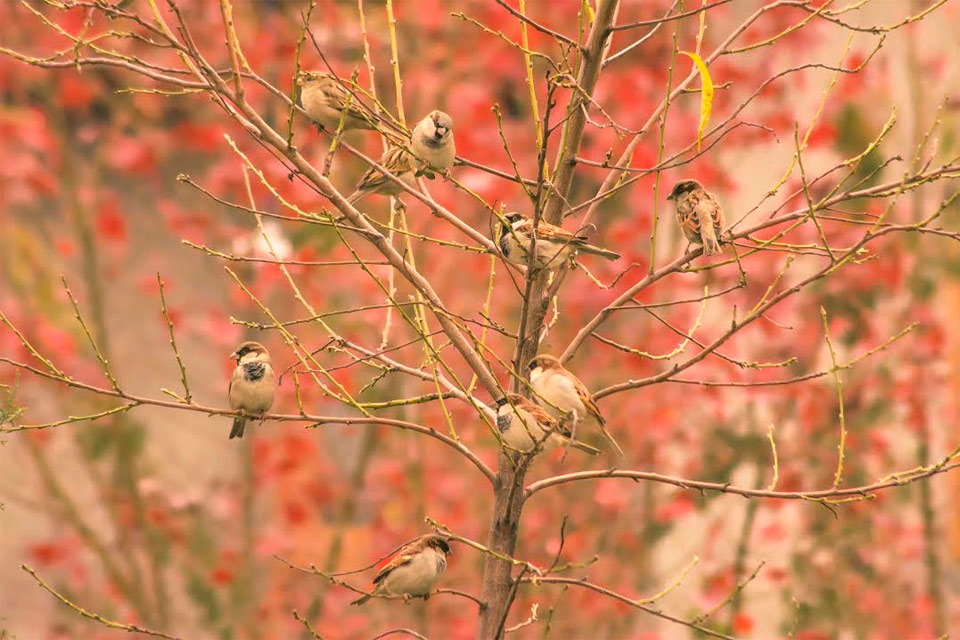 sparrows with maple in background reflecting autumn