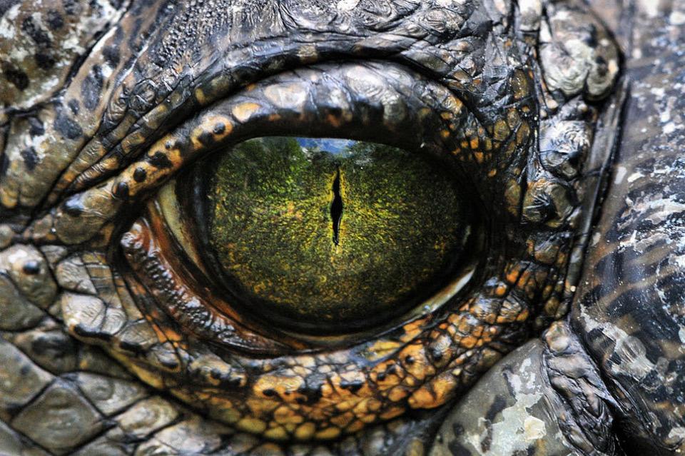 yellow-eye-of-a-nile-crocodile