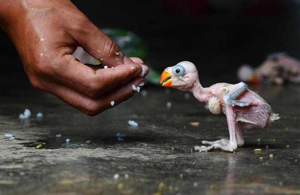 feeding baby parrot