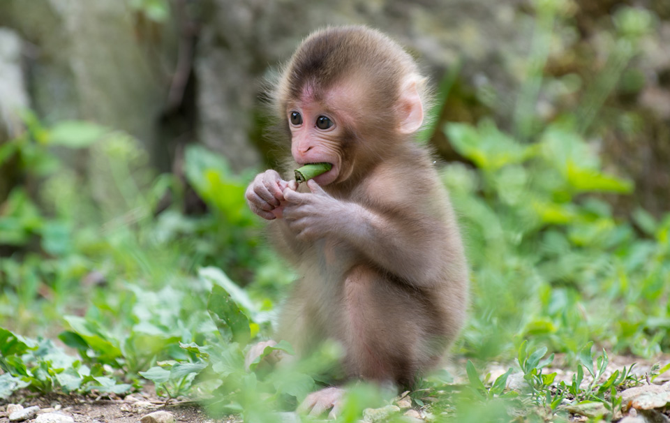 japanese macaque baby monkey photo | one big photo