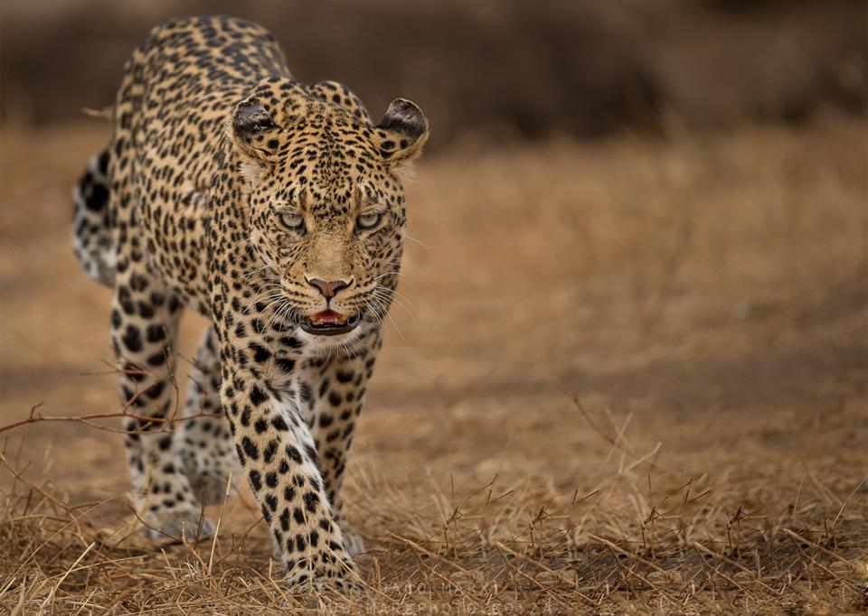 leopard walk, botswana