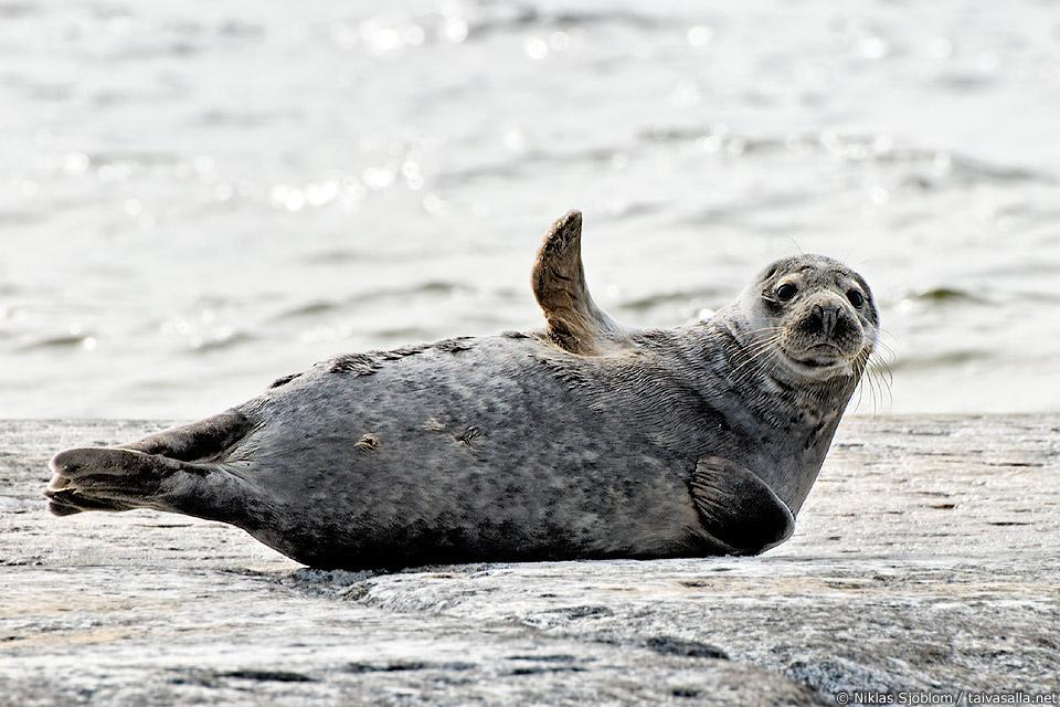 grey seal says hello