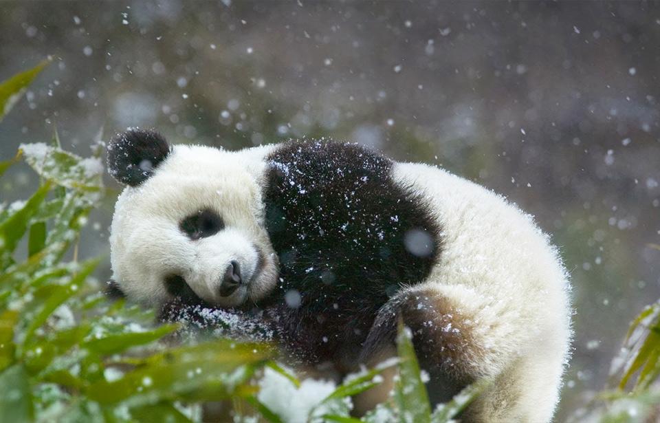 sleepy panda cub