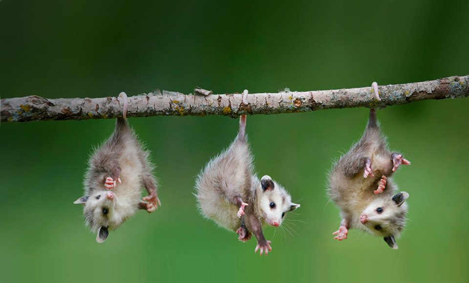baby opossums hanging from tree branch