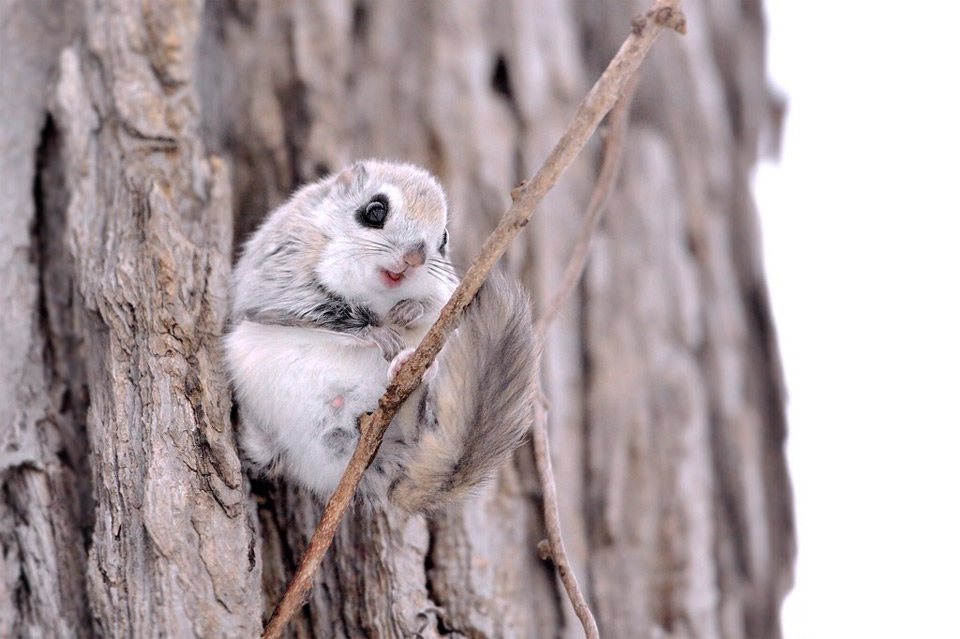 russian flying squirrel