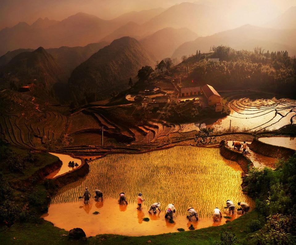 working on rice field, vietnam