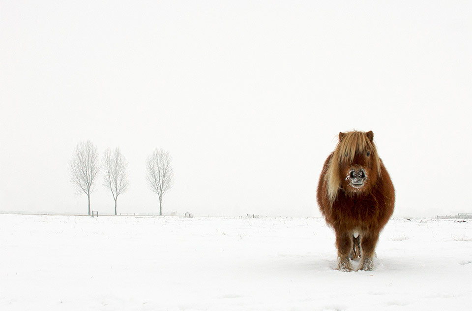 a proud pony in winter