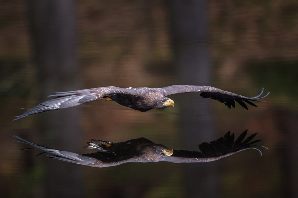 eagle-reflection
