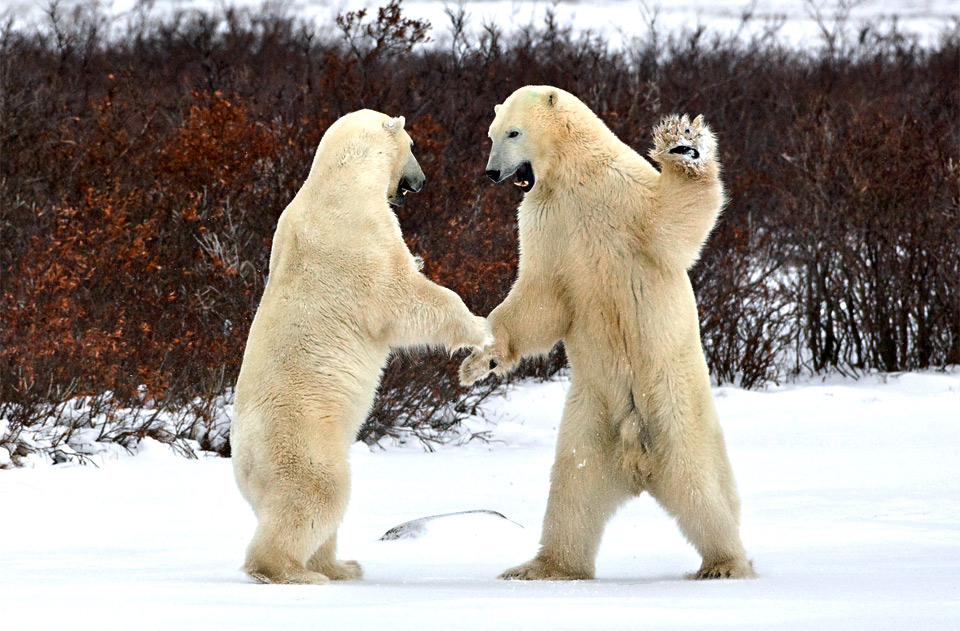 polar bears greeting each other