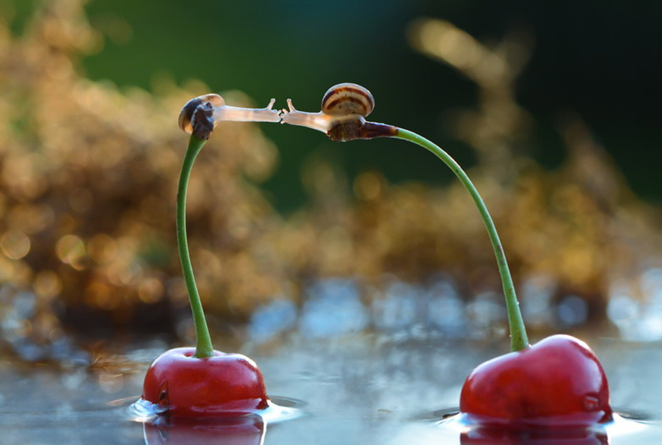 snail kiss on cherries