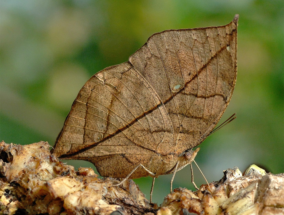 leaf butterfly camouflage