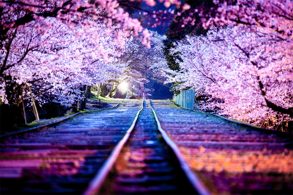 spectacular-cherry-blossoms-at-night,-japan