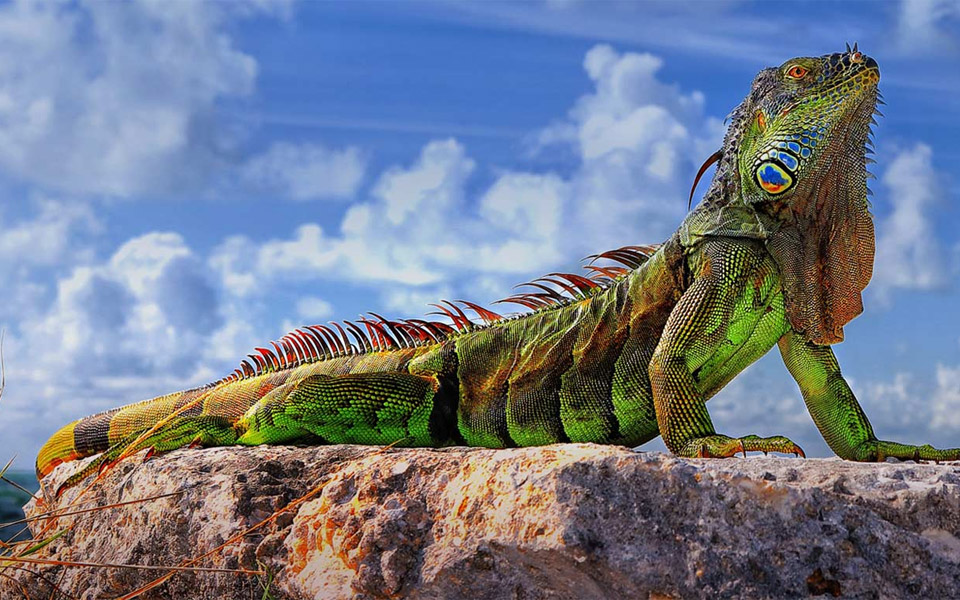 big green iguana of florida keys