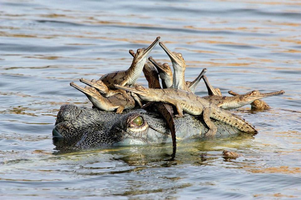crocodile family gathering