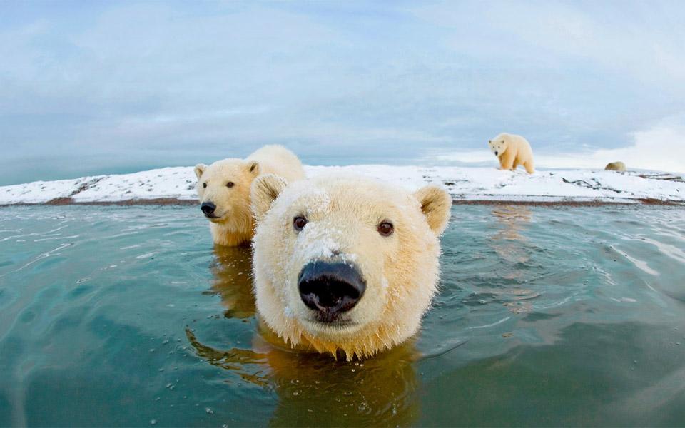 hello, we are polar bears