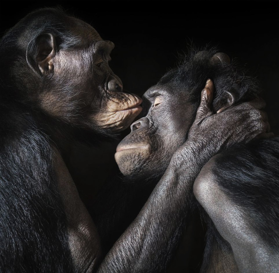 two apes enjoy an love moment together