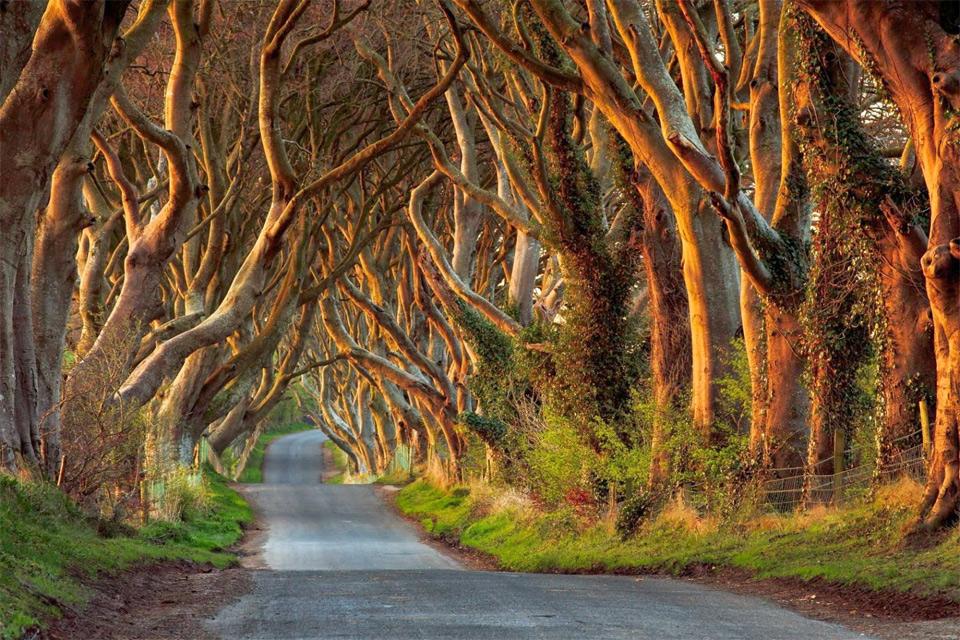 beautifully tree lined road, ireland